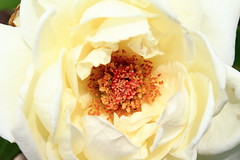 Bullseye (time_anchor) Tags: roses plants blossoms mygarden whiteflowers tearoses fullbloom whiteroses homegrownroses jfkhybridtearose whiterosesinfullbloom