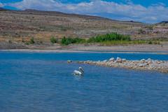 Lake Mead (marcwings) Tags: usa birds unitedstates wildlife nevada lakemead clarkcounty lakemeadnationalrecreationarea