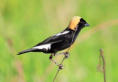 bobolink male at Chipera Prairie IA 854A7279 (lreis_naturalist) Tags: county male reis iowa larry prairie bobolink winneshiek chipera