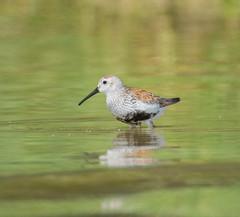 Dunlin (Calidris alpina) (ekroc101) Tags: ontario birds dunlin calidrisalpina dunnville rockpointprovincialpark