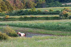 Prancer in the Pasture (Bonnie Ott) Tags: horse pasture dawn morning field