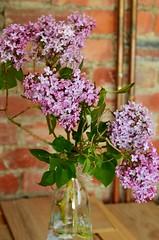Wild adventures (prettyredglasses.com) Tags: flowers wild flores nature bluebells cat spring lilacs gingercat lilas purplelilacs flowersphotography fotografiaflores lilasmoradas