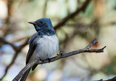 Leaden Flycatcher (Myiagra rubecula), Australian Capital Territory. (Steve J Chivers) Tags: leadenflycatcher flycatcher myiagrarubecula bird blue leaden canberra canberrawildlife roadside nature canon 550d sp70300mmf456divcusd