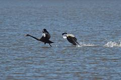 Black Swan's (Vas Smilevski) Tags: bird nature water birds animals swan wildlife ngc birding feathers australia olympus nsw blackswan cygnusatratus waterbirds omd australianbirds em1 anatidae m43 420mm mc14 getolympus olympusau olympusomdem1 mzuiko300mmf4pro