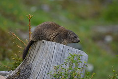 DSC_4872 (d90-fan) Tags: animals outdoors austria tiere sterreich natur marmot rauris hohetauern tauern krumltal murmeltiere raurisertal