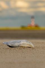 Strandfund (jwfoto1973) Tags: lighthouse germany deutschland sand nikon shell leuchtturm sandbank muschel westerhever westerheversand d7100 johannesweyers