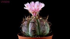 """Echinocactus horizonthalonius """"lightning emperor"""" (Nyxtofulakas) Tags: cactus plant flower nature succulent south lightning cactaceae echinocactus spines coahuila emperor horizonthalonius"""