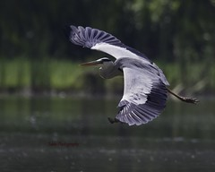 Grey Heron gliding low.. (Tok Ki, an idiot with cameras. (1.5 mil viewers)) Tags: wild heron nature inflight wildlife malaysia 1001nights bif greyheron tokki putrajay pungut heronkingdom