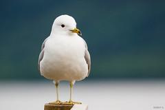 Uncommon Gull (zarlock81) Tags: birds scotland wildlife seagull mwe lochlomond schottland commongull laruscanus sturmmwe