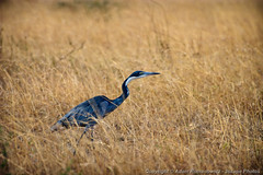 Black-headed Heron (3scapePhotos) Tags: africa tanzania animal animals bird black continent headed heron safari serengeti