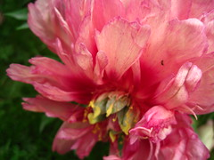 peony flame (VERUSHKA4) Tags: flame fire peony petals pink red nature flora album europe moscow russia macro vue view ville city summer june beautiful background bokeh green verdure astounding image
