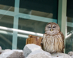 DSC_9838.jpg (W. Halstead Photography) Tags: sleepy tired owl grumpy annoyed