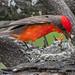 Vermilion Flycatcher - 1st Place Published Images - Frank Zurey