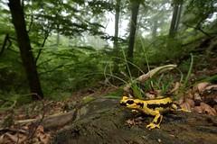 Salamandra salamandra fastuosa (Bagnères-de-Bigorre) (G. Pottier) Tags: salamandra fastuosa fire salamander