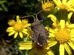 Enoplops scapha (bego vega) Tags: madrid flower macro animal bug insect flor vega vf bv bego senecio insecto chinche coreidae hemiptera heteroptera jacobaea scapha enoplops