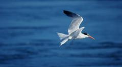 Fan in Flight (F.emme) Tags: terns birds bolsachica bolsachicaecologicalreserve bolsachicawetlands wetlands shorebirds negativespace