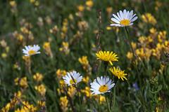 la prairie en blanc et jaune (mrieffly) Tags: paquerettes prairiefleurie vosgesalsace canoneos50d 100400issriel