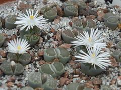DSCF0389 (BobTravels) Tags: plant stone bob lithops lithop messem bobwitney
