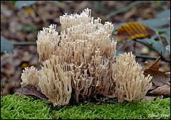 Artomyces pyxidatus (alfvet) Tags: mushrooms nikon ngc natura npc funghi micologia parcodelticino veterinarifotografi d5100