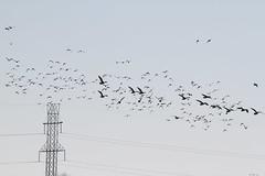 Geese at Hunts Landfill (Rita Wiskowski) Tags: bird wisconsin geese inflight powerlines caledonia racine huntslandfill
