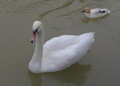 Cygne blanc dans le vidourle  Sommires (hjfklein) Tags: leica white france river swan rivire fluss schwan weiss blanc cygne sommire vidourle hjfklein dlux6