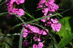 Water attraction.:)) (halina.reshetova) Tags: pink flowers summer plants black flower macro reflection green nature water grass canon eos drops shine bokeh radiance august drop droplet sweetwilliam summertime blob carnation shining brilliance supershot 1000d hennysgardens 30102014 08083014