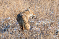 Coyote carries away its meal