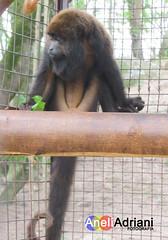 Projeto Mucky - Itu/SP (Aneli Adriani) Tags: brasil anne monkey preto sp itu ruivo bambam macacos viveiro bugio quadrados amamentao loiro guariba barbudo jundiai quadriculado alouatta nibelunga aneliadrianifigueiredo