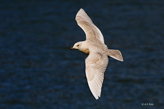 Gaviota polar, Iceland Gull, Goland  ailes blanches  (Larus glaucoides) (alvarof.polo) Tags: iceland gull polar gaviota larus glaucoides