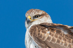 Ferruginous Hawk Closeup