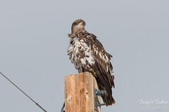 Juvenile Bald Eagle Keeps Watch