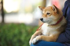 Momo (Takashi(aes256)) Tags: dog momo shibainu
