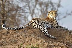 Languishing! (Duncan Blackburn) Tags: nature southafrica mammal nikon wildlife ngc npc leopard kruger timbavati specanimal specanimalphotooftheday coth5