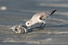 Sanderling (Caladris alba) feeding on a dead fish (Dave Montreuil) Tags: africa food fish bird beach animal dead sand feeding eating profile fulllength nobody westafrica gambia senegal lowtide sideview sanderling plumage tanji wader nonbreeding oneanimal leastconcern caladrisalba
