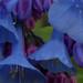mertensia virginica, ouryard, jdy101 XX200904115356.jpg