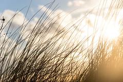 Dune grass in sunrise (piropiro3) Tags: sun grass sunrise dunes dune gras sonne sonnenaufgang dne