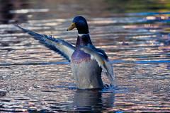 standing Duck (W8er Alex) Tags: abend wasser ente farben weiher