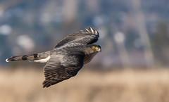 Cooper's Hawk (RussellK2013) Tags: bird nature animal hawk wildlife raptor prey bif coopershawk serpentinefen serpentinewildlifearea