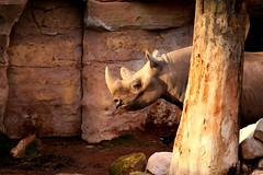 Erlebniszoo Hannover 10.11.2014 (mbap266) Tags: zoo hannover nashorn spitzmaulnashorn erlebniszoohannover