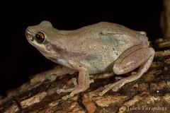 Desert Tree Frog (Litoria rubella) (Jules Farquhar.) Tags: tree desert nt wildlife amphibian frog herpetology anura amphibia hylidae herpetofauna litoriarubella tropicalherping julesfarquhar