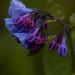 mertensia virginica, ouryard, jdy104 XX200904146530.jpg