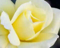 October Rose (Pauline Brock) Tags: flower macro nature floral rose yellowflower yellowrose opening rosemacro macroflower macrorose macromondays