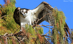 """""""A bird sitting on a tree is never afraid of the branch breaking, because her trust is not on the branch but on its own wings. (Shannon Rose O'Shea) Tags: tree bird nature wings branch florida wildlife raptor lakeland osprey canoneos7d circlebbarreserve shannonroseoshea"""