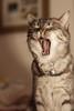 Yaaaaaaaaaaaaaaaaawn (Fieldy.) Tags: cat kitten kitty miow meow chat neko gato purr cute yawn pet fluffy kitteh mace katu kот mačka котка gat kočka kat kass kissa katze γάτα macska köttur gatto kaķis katė мачка qattus katt kot pisică кот кіт cath קאַץ կատու pişik বিড়াল 猫 貓 კატა બિલાડી बिल्ली miv ネコ ಬೆಕ್ಕು мысық ឆ្មា 고양이 പൂച്ച मांजर муур ကြောင် බළලා гурба பூனை పిల్లి แมว بلی mushuk conmèo fieldym fieldy matthewfield matthewfieldphotography