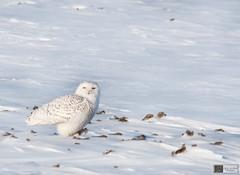 Snowy Owl (Nick Scobel) Tags: snowy snowstorm arctic owl invasion tundra bubo irruption scandiacus