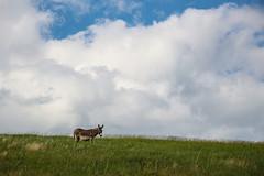 IMG_3232.jpg (Cheri Widzowski) Tags: southdakota wildanimals natureandgarden westernus travelandlocalactivities artphotographyportfolio