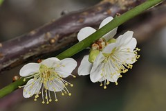 () Tags:   prunusmume     mumeplantjapaneseapricot