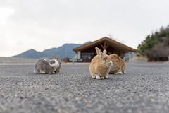 (GenJapan1986) Tags: rabbit animal japan hiroshima      2015    nikond610