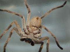 Sparassidae Huntsman spider DSCF6194 (Bill & Mark Bell) Tags: exmouth westernaustralia australia geo:town=exmouth geo:state=westernaustralia geo:country=australia geo:lon=11425453egeolat2217752sgeoalt8m 11425453e2217752salt8m taxonomy:kingdom=animalia animalia taxonomy:phylum=arthropoda arthropoda taxonomy:class=arachnida arachnida taxonomy:order=araneae araneae taxonomy:superfamily=sparassoidea sparassoidea taxonomy:family=sparassidae sparassidae taxonomycommonnamehuntsmanspider huntsmanspider spider