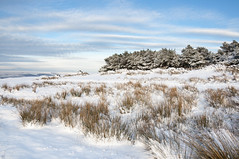 Reeds and pine in the snow (Keartona) Tags: trees winter england sky snow pine reeds landscape snowy derbyshire edge coombes charlesworth highclouds
